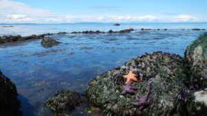 Orange sea star on a rock overlooking rocky tidal zone at Cherry Point Aquatic Reserve