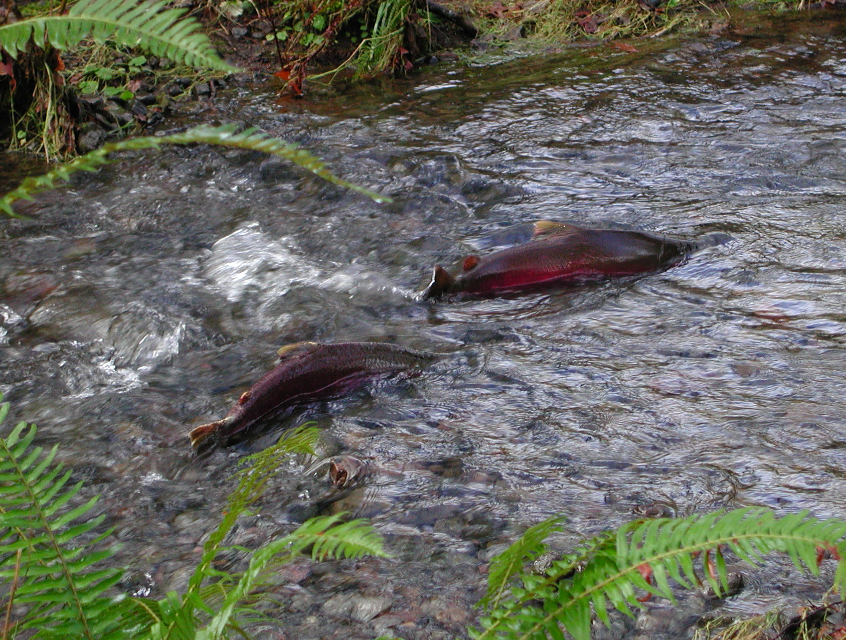 coho salmon swimming upstream