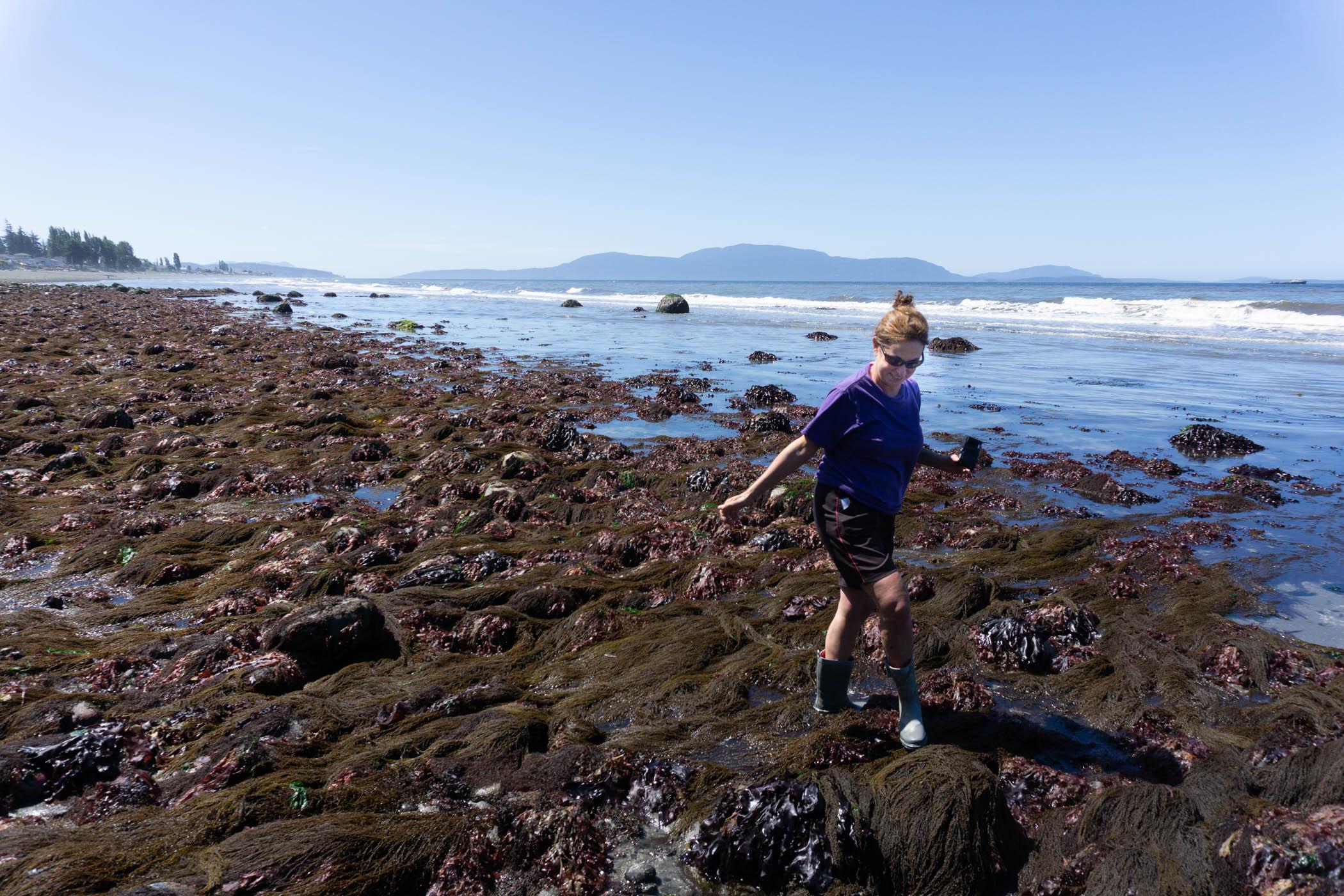 A beach steward volunteer walks along low tide